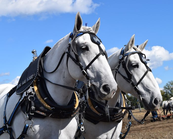 percherons ears forward